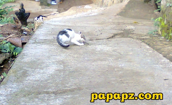 tikus dimakan kucing