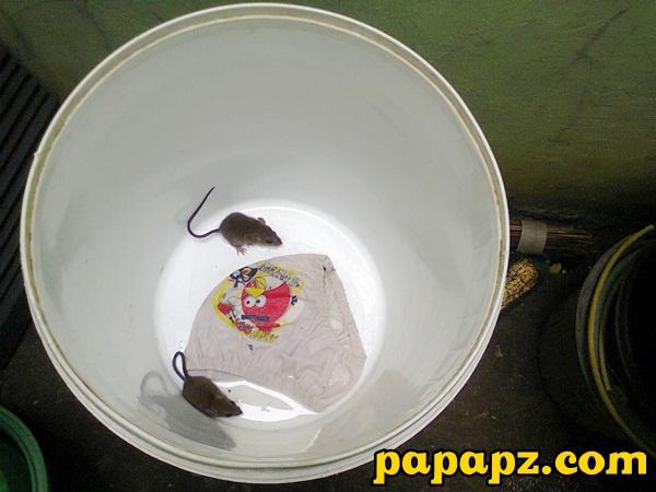 tikus terperangkap
